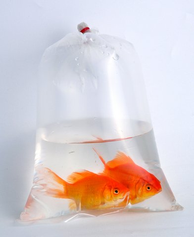 Goldfish in a bag for Fish in a bag