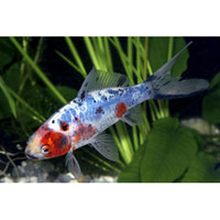 Shubunkin Goldfish