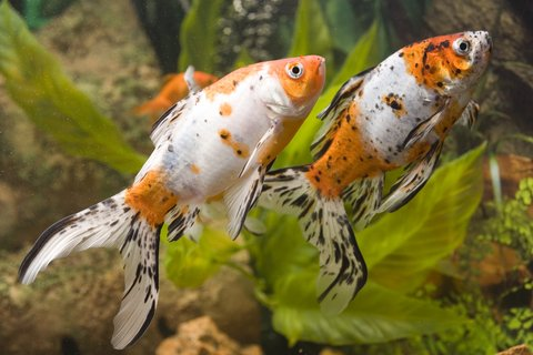 two fantail gold-fish dreams time